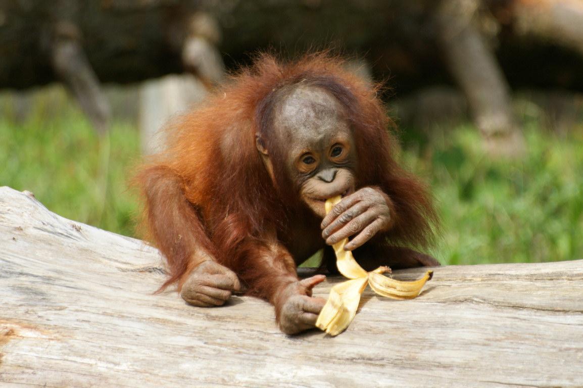 Lets Draw Endangered Species   Sumatran Orangutan