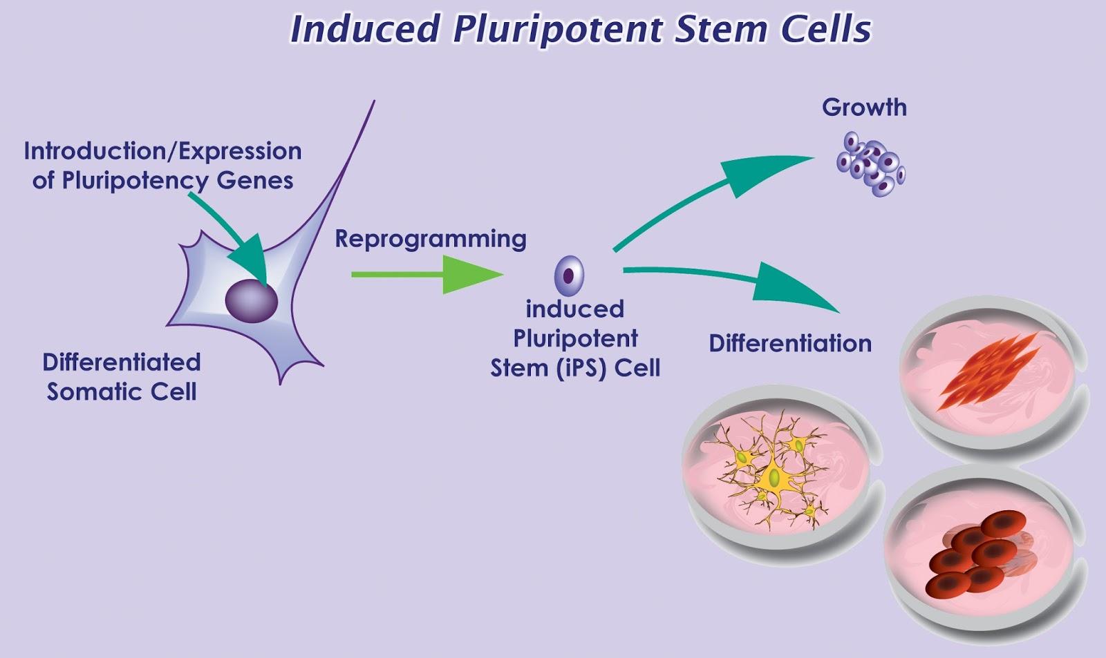 Kısırlığa çözüm' Yumurta üreten kök hücreler