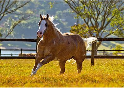 A cabeça do cavalo Quarto de Milha é pequena, com a fronte ampla, perfil reto, com olhos grandes e bem afastados entre si. Ele apresenta temperamento dócil e inteligente.