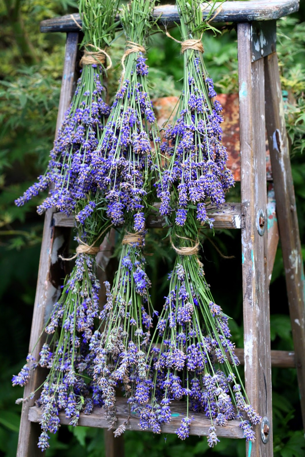 Lavendel Drogen So Canadian Eh Stephanie From Garden Therapy Markova
