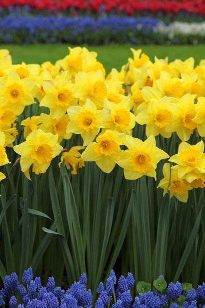 jardim da terra como cultivar narcisos
