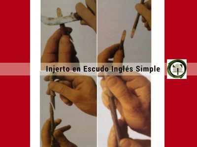 El Injerto en Escudo Inglés Simple es un Injerto de Púa que se practica con el kiwi, el albaricoque