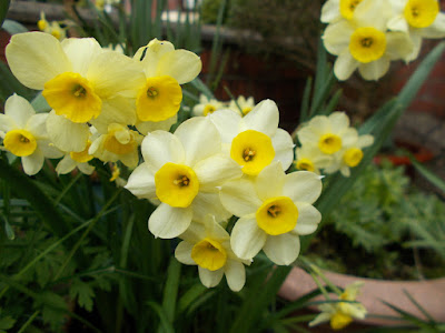 Daffodil Narcissus Minnow Change your garden - what can you add this year? Green Fingered Blog