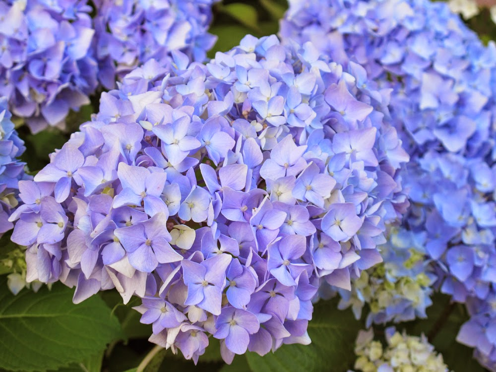 blue hydrangeas flowers