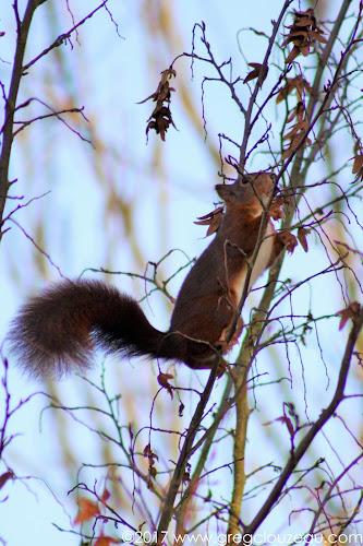 Écureuil roux, ou écureuil d'Eurasie (Sciurus vulgaris).