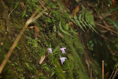 Pleione formosana care and culture