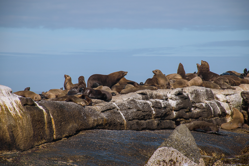 seals in seal island and boulders beach cape town south africa