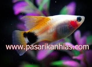Ikan hias air tawar koral