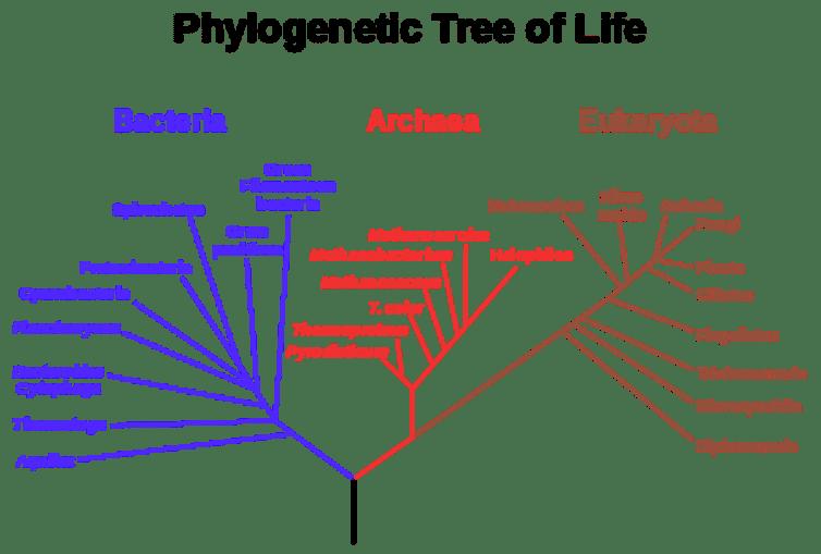 El «árbol de la vida», que muestra tres dominios: Bacterias, Arqueas y Eucaryota, y la vinculación de las tres ramas de organismos vivos para el último ancestro común universal (el tronco negro en la parte inferior del árbol). Tenga en cuenta que la mayoría de los modelos modernos ahora sitúan el origen de los eucariotas dentro del linaje de arqueas.