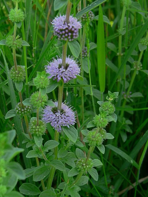 European Pennyroyal