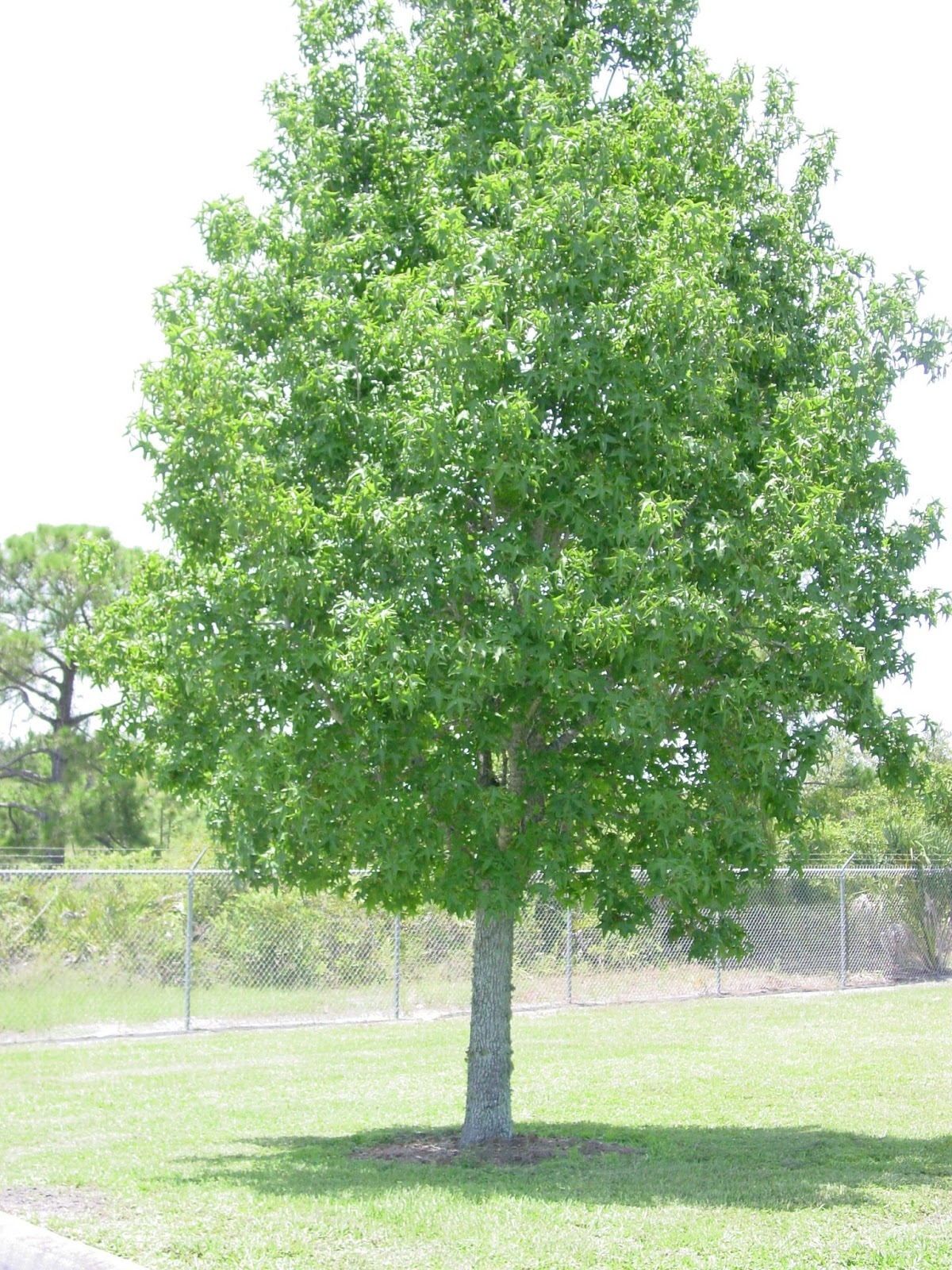 Sweet Gum Tree Growth Rate