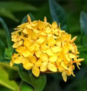 Gambar Bunga Asoka Berbagai Warna 4