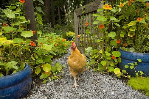 poule pondeuse jardin