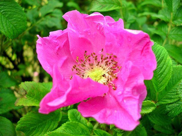 kwiat, różowy, krzew, zielone