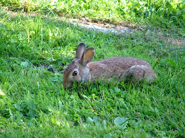 Sharpe Cove rabbit