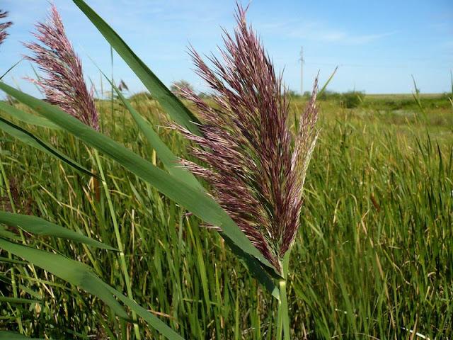 Тростник - съедобное растение