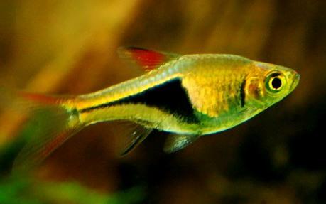 cá tam giác bơi theo bầy được chọn nuôi trong hồ thủy sinh
