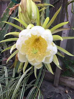 Dragon Fruit bloom Vivero Growers Nursery Austin