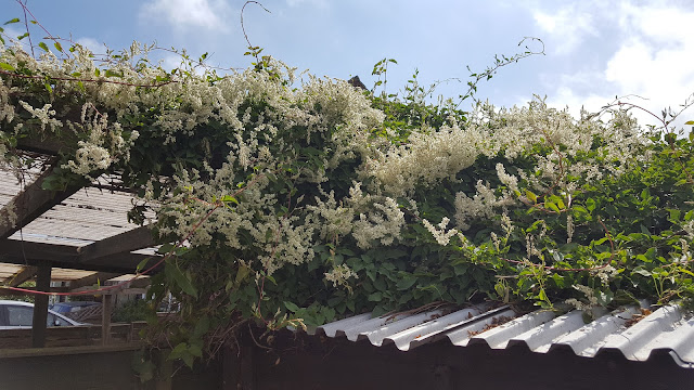 Specimen Polygonum baldschuanica with white flowers
