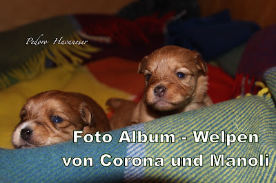 Havaneser Welpen - Foto Album