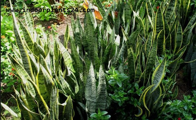 snake plant flowers pictures