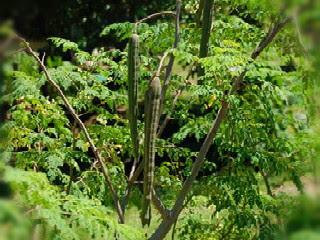 cara-menanam-daun-kelor.jpg