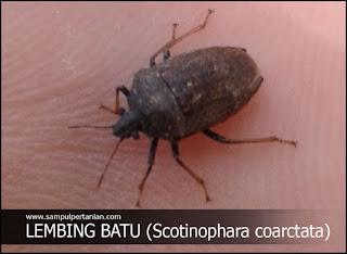 Mengenal hama lembing batu (Scotinophara coarctata)