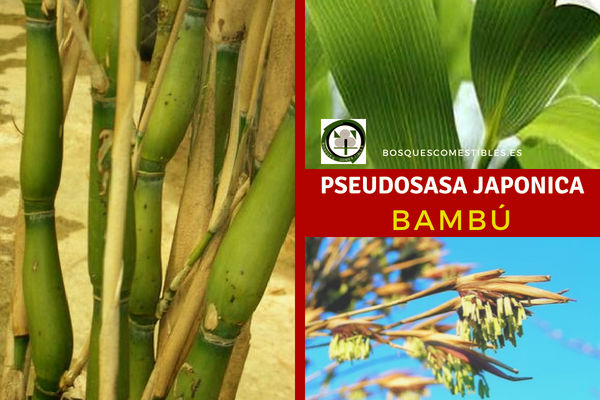 Pseudosasa japonica o Arundinaria japonica, Bambú, es una planta que requiere suelos húmedos