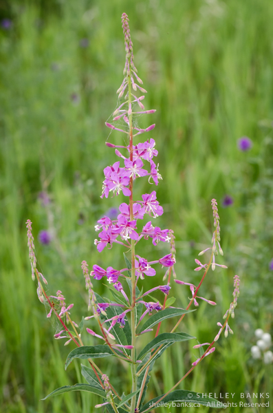 Fireweed. Copyright © Shelley Banks, all rights reserved