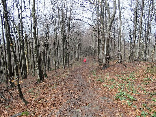 Bukowy las,