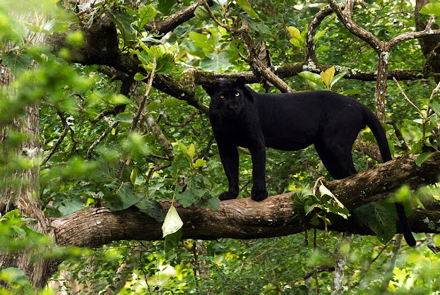 A melanistic leopard, aka panther