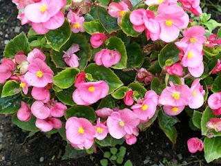 Begonia semperflorens 'Sprint Pink'