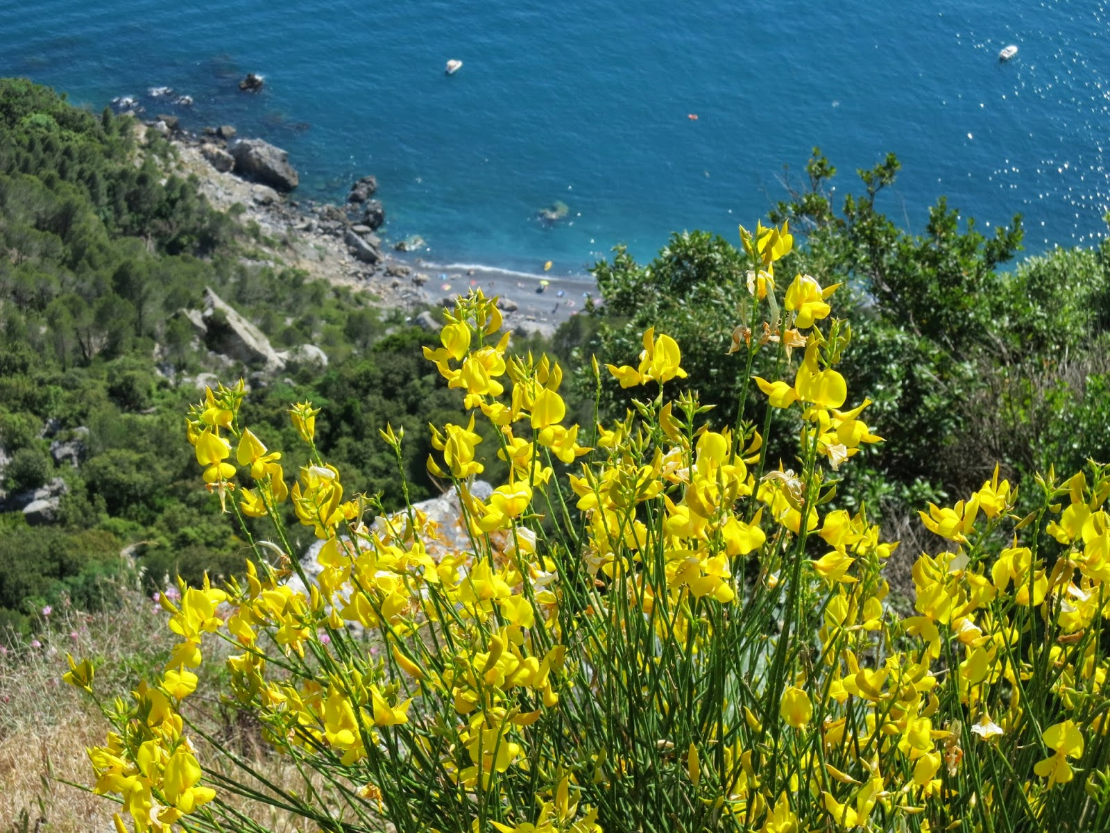 Ginestra flowers above Punta Corvo beach, Gulf of La Spezia