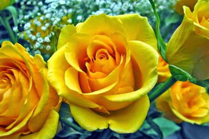 Bunga Mawar Kuning, Yellow Rose Flower