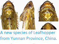 http://sciencythoughts.blogspot.co.uk/2015/04/a-new-species-of-leafhopper-from-yunnan.html