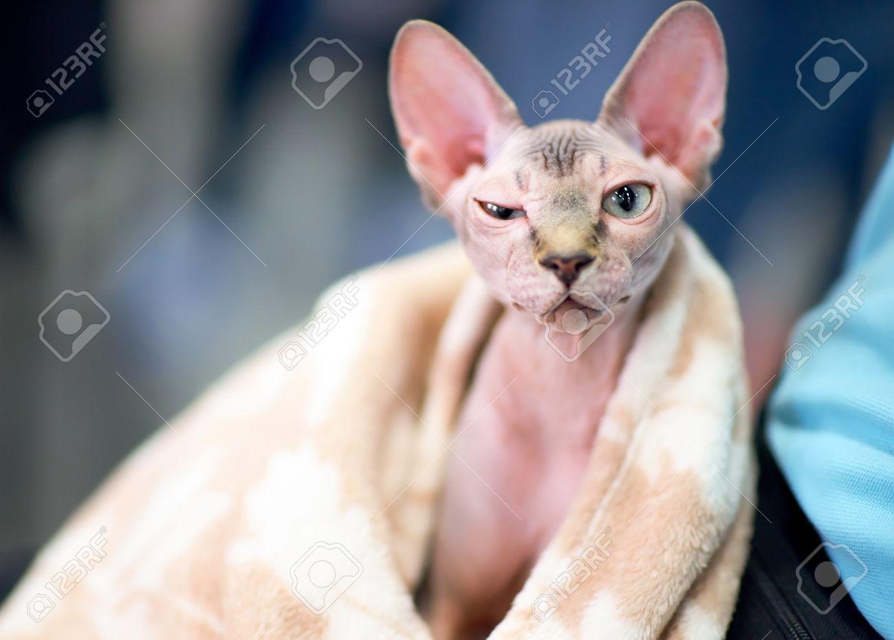 Dumansız kediler: cins, foto