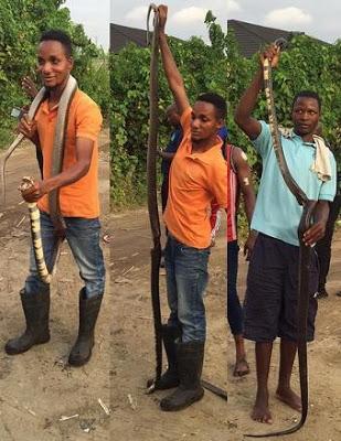 longest snake in nigeria