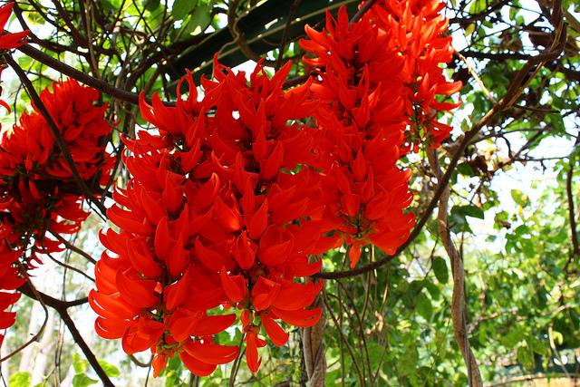 A Jade fornece sombra agradável o ano todo e atrai beija-flores. Apesar de parecidas, a jade vermelha não é do mesmo gênero da trepadeira jade. Mas elas são da mesma família, a fabaceae.