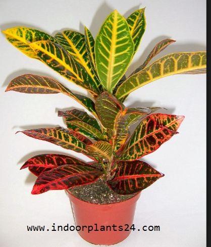 Euphorbiaceae INDOOR Plant POTTED IMAGE
