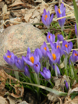 Paul Jung Gardening Services Toronto Gardening Company Davisville Mount Pleasant East Spring Crocuses