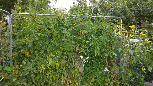 die Tomaten kommen jetzt weg  (c) by Joachim Wenk