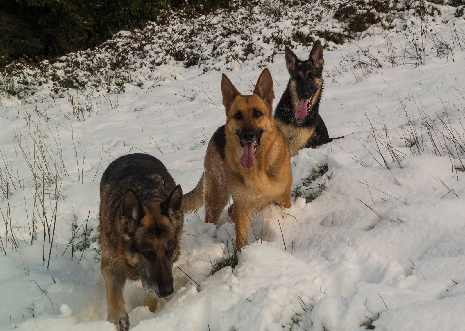 A family of three German Shepherds on a snow covered hillside.