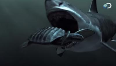 hiu megalodon makan penyu