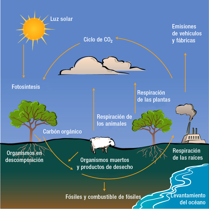 Diagram With Inputs And Outputs Of Photosynthesis Process Sunpro Gauges Wiring Ciclo Del Carbono