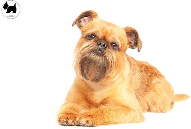 Cutest Dog Breeds, Best Dog, Brussels Griffon Dog