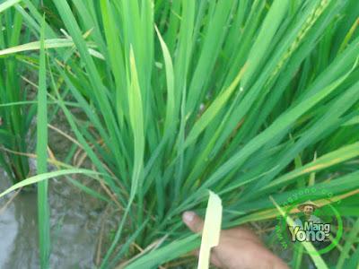 FOTO 2 : Tanaman Padi TRISAKTI 45 HST