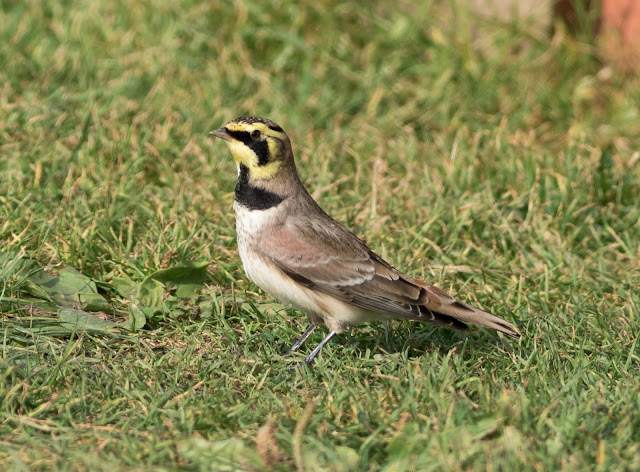 Shore Lark - Spurn, Yorkshire