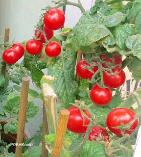 Solanum lycopersicum, tomato