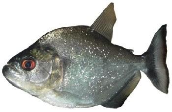 Piranha Preta (Serrasalmus rhombeus)