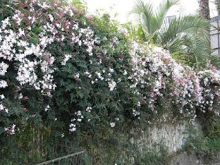 Jasmim dos poetas (Jasminum polyanthum)